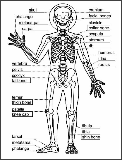 Homeschool Learning About The Skeletal System